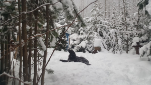 Boomer enjoys the snow in Sunshine Valley, B.C. (Charlotte Fuhrmann)