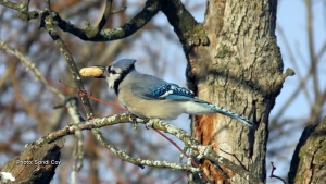 Beautiful bluejay in my yard, came to pick up his lunch. (Sandi Coy/CTV Viewer)