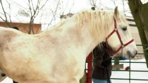 Caleche horses retire
