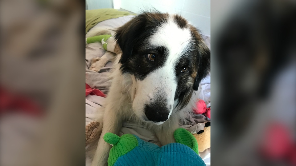 Brownie, a six-year-old St. Bernard and border collie mix, is seen in this handout photo from the BC SPCA.