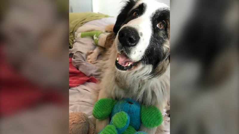 Brownie, a six-year-old St. Bernard and border collie mix, was brought into the BC SPCA's South Peace Branch in Dawson Creek with a gunshot wound. (BC SPCA handout)