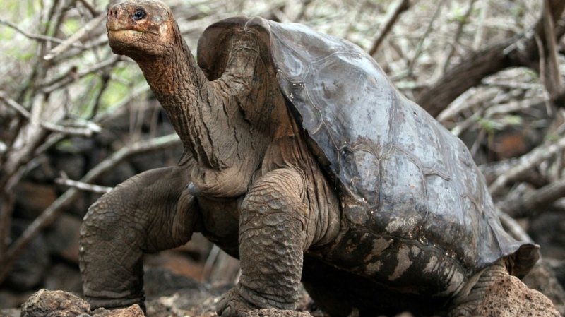 Lonely George, the last giant tortoise of the Pinta species, is seen at Galapagos National Park on Santa Cruz Island in June 2006. (AFP)