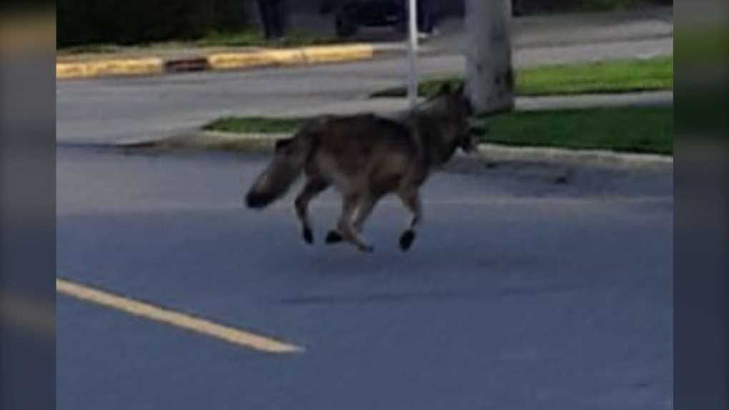 Wolf spotted in City of Victoria, police say