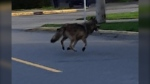 "In a tweet, the Victoria Police Department said its officers, along with officers from the BC Conservation Officer Service, were responding to a ""confirmed wolf sighting"" in the city's James Bay neighbourhood. (@vicpdcanada/Twitter)"