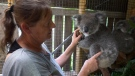 CTV National News: Nursing Australia's wildlife