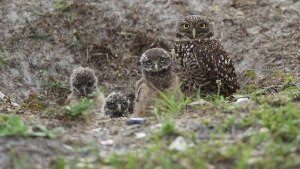In this May 2, 2012 file photo, a mature burrowing owl and three young chicks sit at the entrance to their nest in Brian Piccalo Park in Pembroke Pines, Fla. (AP Photo/J Pat Carter, File)