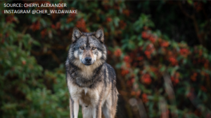 In light of the news that the lone wolf of Discovery Island was sighted in Victoria's James Bay neighbourhood Saturday, here's a look at some photos of the animal taken by Cheryl Alexander (Instagram: @cher_wildawake)