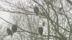 Hundreds flock to 29th Eagle Watch in N.S.