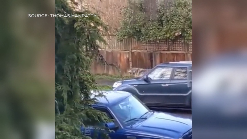 Wolf spotted in Victoria neighbourhood