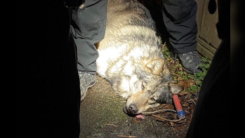 "Victoria police tweeted this photo of the wolf after it was tranquilized, saying it will be checked by a vet and ""cleared medically."" The wolf was not harmed, police said. (@vicpdcanada/Twitter)"