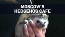 Hedgehog cafe lets customers play with spiky critt