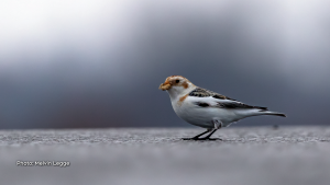 A snow bunting just outside of Ottawa.  These are very active little birds.  (Melvin Legge/CTV Viewer)