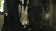 Wolf captured in Victoria safely relocated