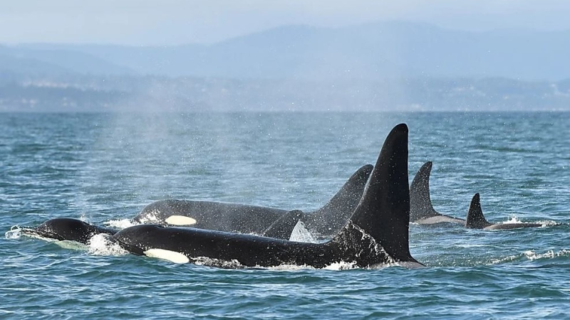 Southern resident orcas fom L-pod in the Salish Sea. (Dave Ellifrit)
