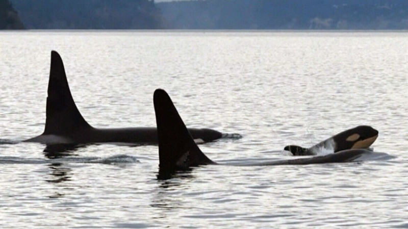 New A.I. technology will help protect B.C. orcas