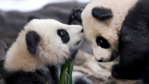 In this picture taken trough a window the young panda twins 'Meng Yuan' and 'Meng Xiang' explore their enclosure at the Berlin Zoo in Berlin, Germany, Wednesday, Jan. 29, 2020. (AP Photo/Michael Sohn)