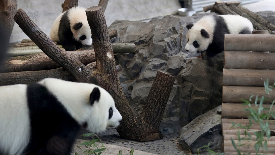 In this picture taken trough a window mother Meng Meng, front, eats bamboo as the young panda twins 'Meng Yuan' and 'Meng Xiang' explore their enclosure at the Berlin Zoo in Berlin, Germany, Wednesday, Jan. 29, 2020. (AP Photo/Michael Sohn)