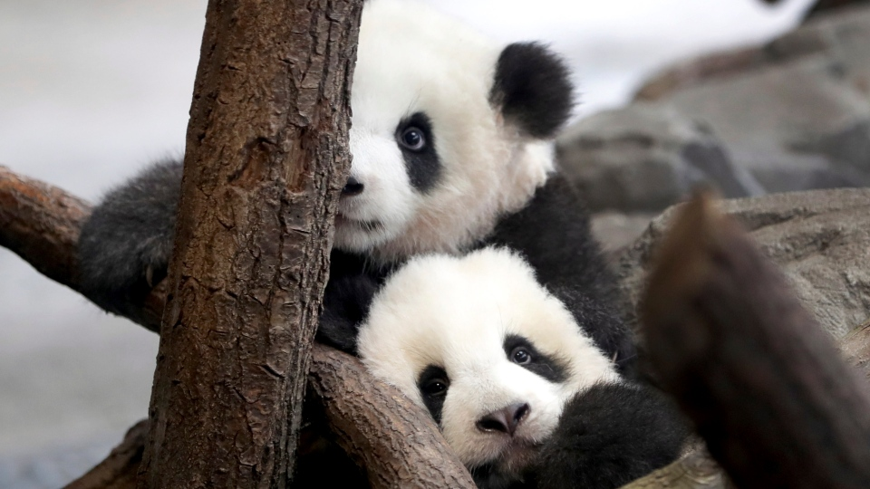 In this picture taken trough a window the young panda twins 'Meng Yuan' and 'Meng Xiang' explore their enclosure at the Berlin Zoo in Berlin, Germany, Jan. 29, 2020. (AP Photo/Michael Sohn)