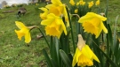 It's still January, but thousands of daffodils are already in bloom in Vancouver's English Bay. (Photos from Steve Hughes / CTV News Vancouver)