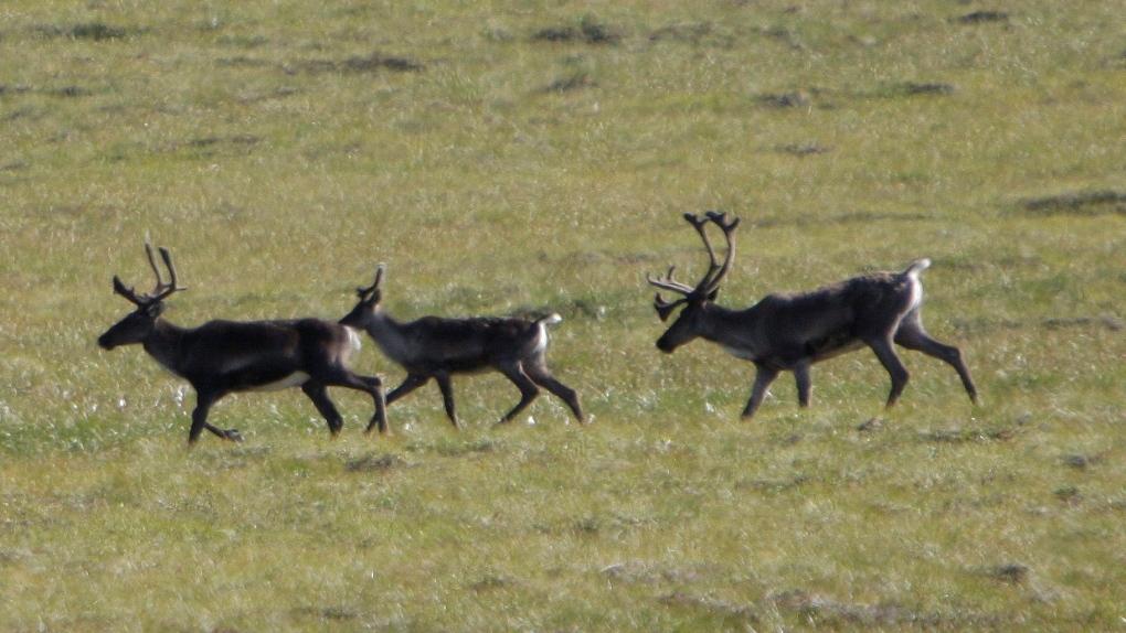 Caribou in Yukon