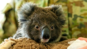 Koalas are classified as 'vulnerable', and have recently suffered massive loss of habitat due to wildfires in Australia. (AFP)