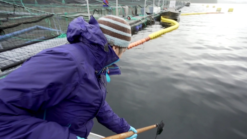 Volunteers and staff used nets on long poles to scoop up fish samples. (Source: Clayoquot Action)