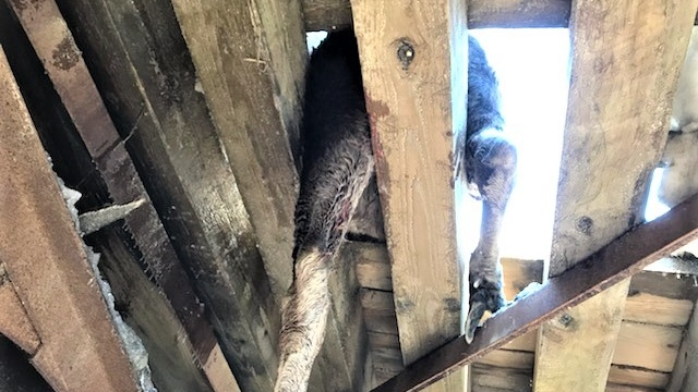 Moose stuck in slats