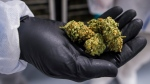 A handful of cannabis is shown in Fenwick, Ont., on Tuesday, June 26, 2018. A ash of cannabis company layoffs and executive departures in recent weeks are likely to continue, say experts expecting a rocky year for the industry.THE CANADIAN PRESS/ Tijana Martin