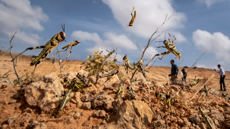 In this photo taken Wednesday, Feb. 5, 2020, young desert locusts that have not yet grown wings jump in the air as they are approached, as a visiting delegation from the Food and Agriculture Organization (FAO) observes them, (AP Photo/Ben Curtis)