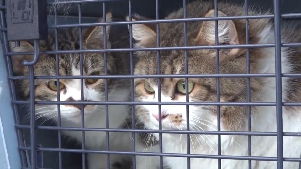 Alberta SPCA cats seized