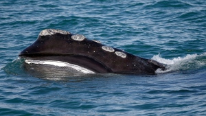 In this March 28, 2018 file photo, the baleen is visible as a North Atlantic right whale feeds on the surface of Cape Cod bay off the coast of Plymouth, Mass. (AP Photo/Michael Dwyer)