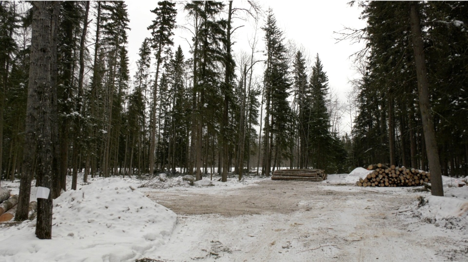 Park crews are creating a 12-hecatre fuel break next to Ajawaan Road near Baker's Bungalows in the Waskesiu townsite.
