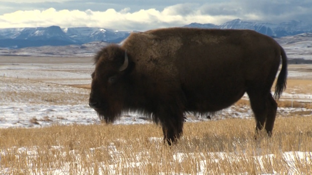 Northern Alberta First Nation to receive 14 bison from Parks Canada