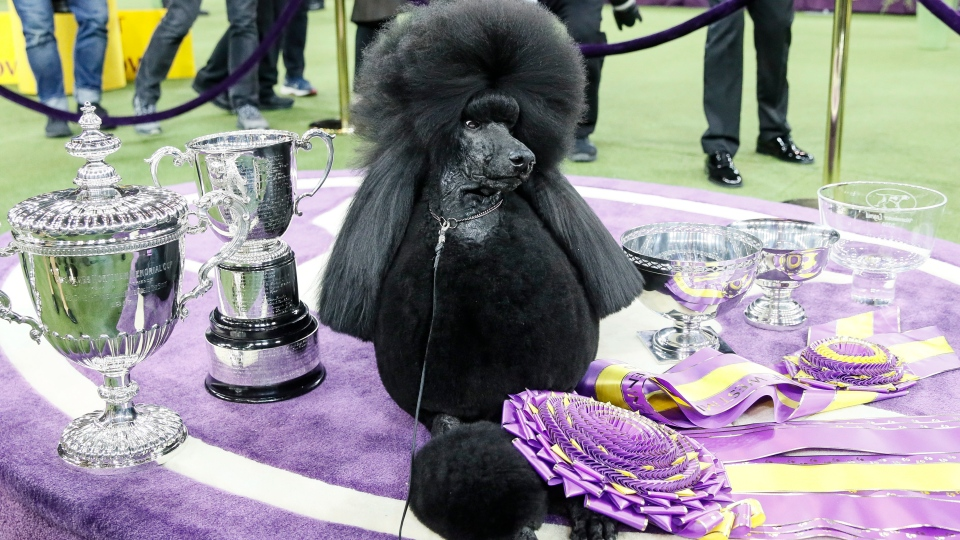 Siba The Standard Poodle Wins The Best In Show Title At