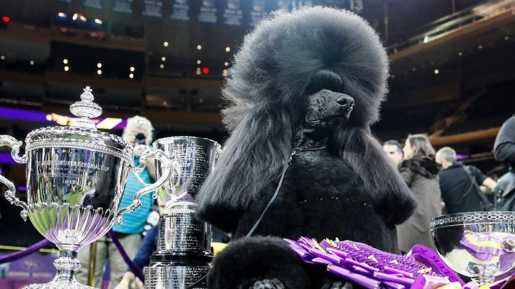 Siba, the standard poodle