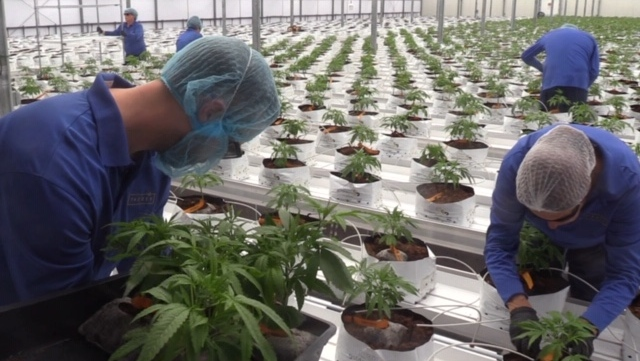 Bruce County cannabis greenhouse