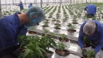 Workers tend to marijuana plants at Supreme Pharmaceuticals near Tiverton, Ont. (Scott Miller / CTV London)