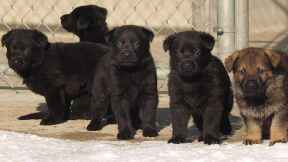 police dog, RCMP, puppies, naming,