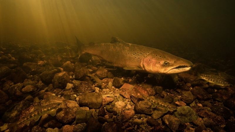 A large Atlantic salmon is shown in Nova Scotia's St. Mary's River in this undated handout photo. Salmon conservation groups say rare video that captures wild Atlantic salmon spawning in a Nova Scotia brook near a proposed gold mine site should help convince governments to reject the project. (THE CANADIAN PRESS/HO - ATLANTIC SALMON FEDERATION, Nick Hawkins & Tom Cheney)