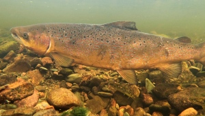 Atlantic Salmon Federation scientists estimate 103,900 large salmon returned to the 86 rivers studied in 2019, down from estimates of about 131,800 the year before.  (THE CANADIAN PRESS/HO - ATLANTIC SALMON FEDERATION, Nick Hawkins & Tom Cheney)