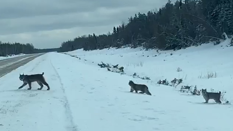"A Manitoba Hydro worker stumbled across an ""extremely rare"" sight while traveling the highways in rural Manitoba – a mother lynx and her litter. (Source: Sean Kirchmann/Manitoba Hydro)"