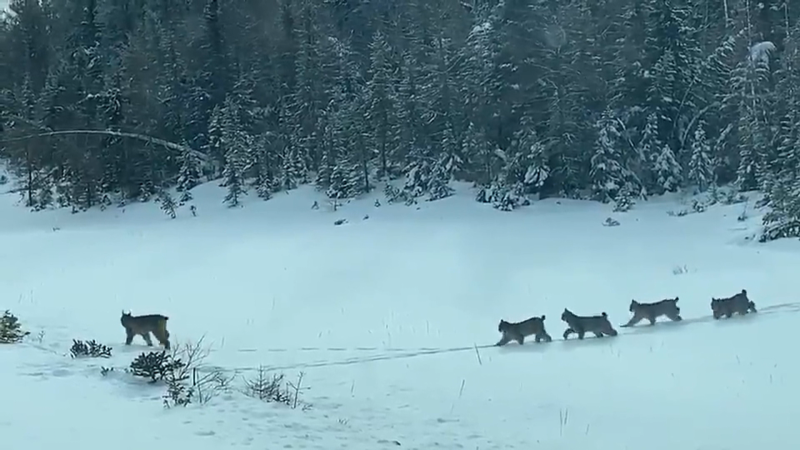 Caught on cam: Family of lynx cross the road