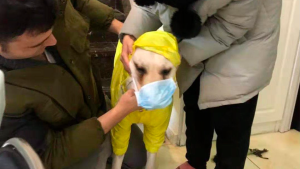 In this Jan. 26, 2020, photo, Doug Perez and his girlfriend outfit their Labrador, Chubby, with a face mask before going out for a walk in Wuhan, China. (Doug Perez via AP)