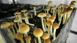 Police seized $750,000 worth of magic mushrooms at a property in Forestburg, Alta. (File photo)