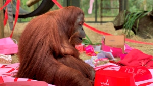 This Feb. 15, 2020 photo courtesy of the Center for Great Apes shows an orangutan named Sandra in Wauchula, Fla. Sandra, who was granted legal personhood by a judge in Argentina and later found a new home in Florida, celebrated her 34th birthday on Valentine's Day with a special new primate friend. (The Center for Great Apes via AP)