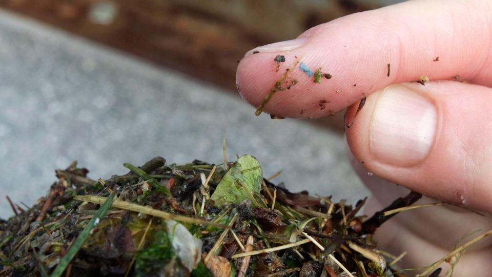 A blue rectangular piece of microplastic is visible on a researcher's finger on Wednesday, May 19, 2010 in Tacoma, Wash. New research suggests North Americans eat, drink and inhale tens of thousands of tiny plastic particles every year. THE CANADIAN PRESS/AP, Ted S. Warren