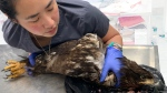 Island Animal Hospital staff member Viviana Lee with one of the sick bald eagles brought in Sunday. (Ken Langelier)