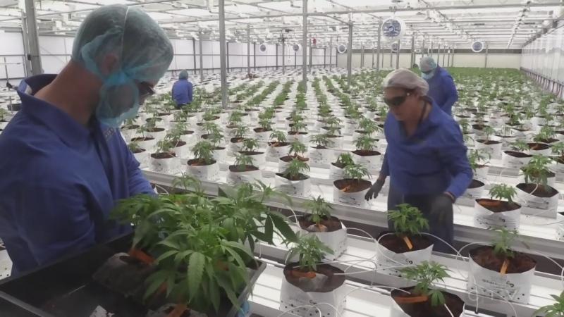 Supreme Cannabis Company announces layoffs