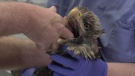 One of eight bald eagles receiving treatment for poisoning at the Island Animal Hospital on Monday, Feb 17, 2019. (CTV News)