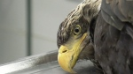 Bald eagles poisoned after eating euthanized pig